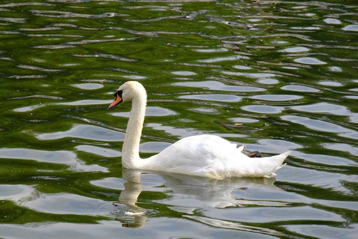 Лебедь в Лианозовском парке - Сергей Ткаченко