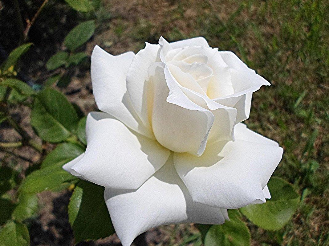 Белой  розы   красота чарует  дивной  чистотой - Елена Павлова (Смолова)