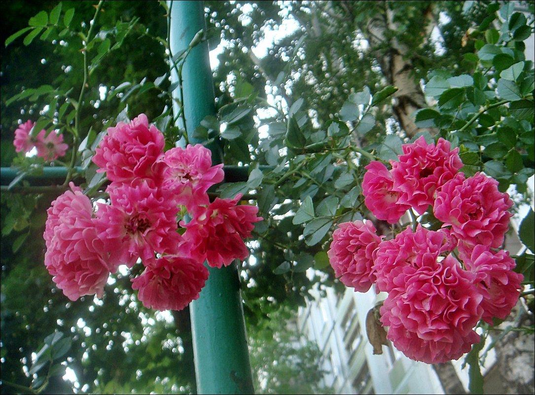 Два ароматных букета с куста плетистых роз... - Нина Корешкова