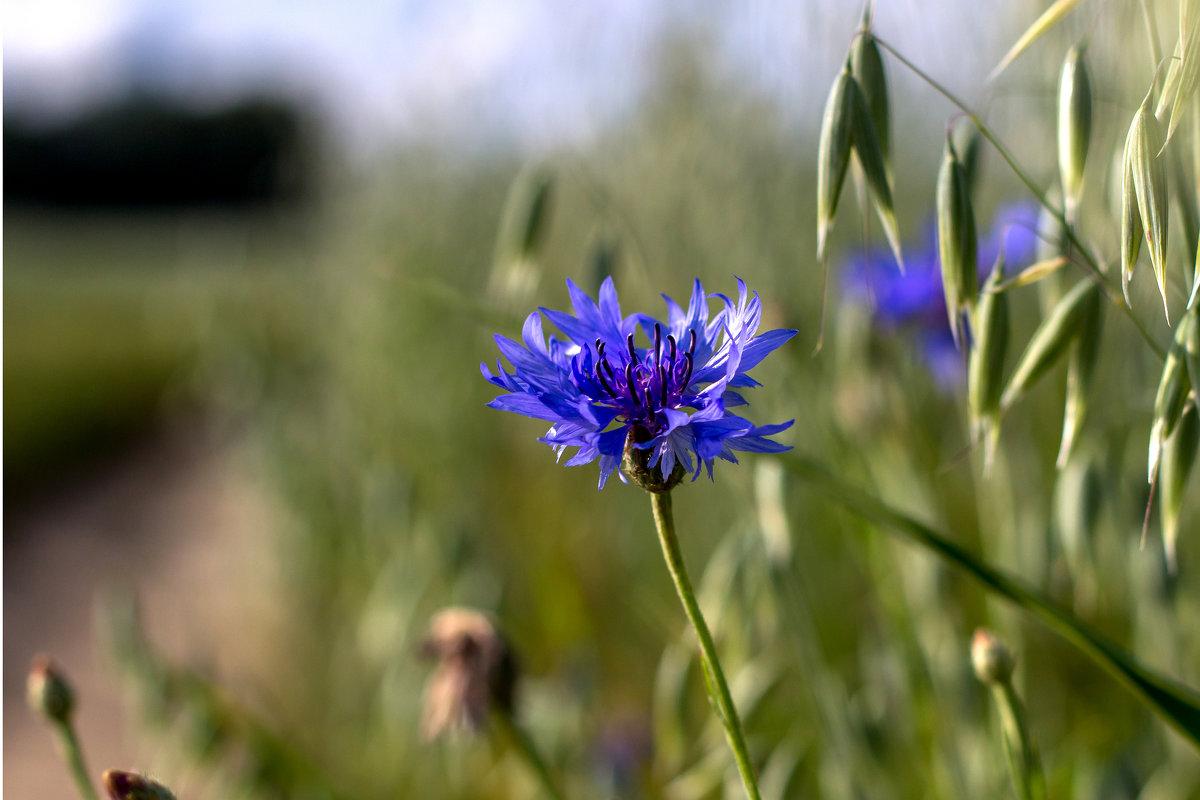 Васильки цветы фото картинки