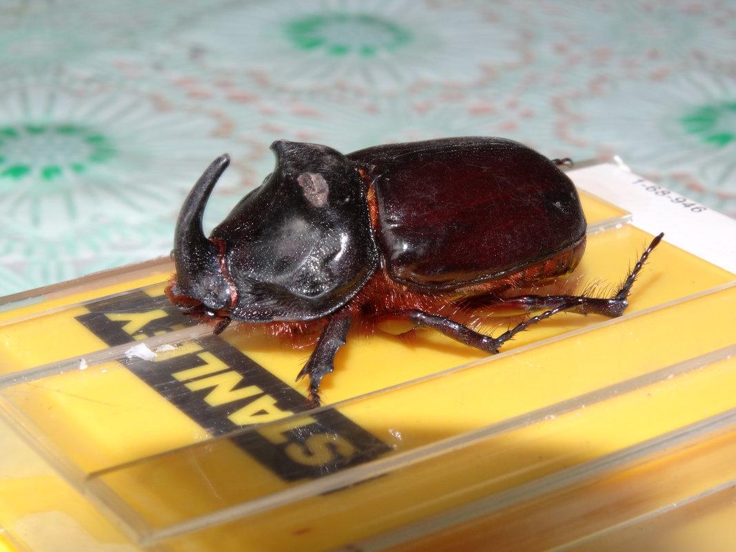 Что едят жук носорог в домашних условиях 916