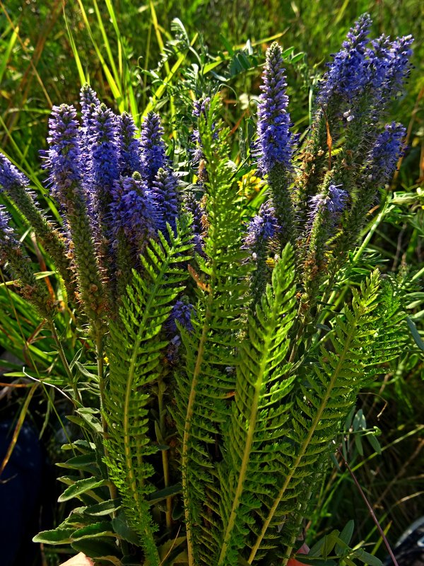 степные цветы - Natalia Mihailova