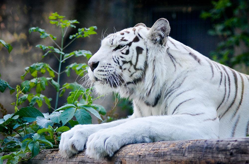 Белый тигр - Денис Белов