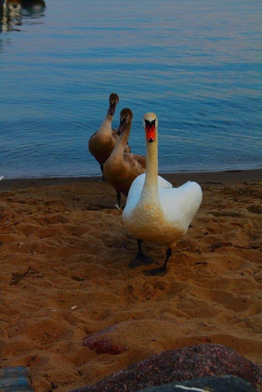 Семейство лебедей - Александр Богданов