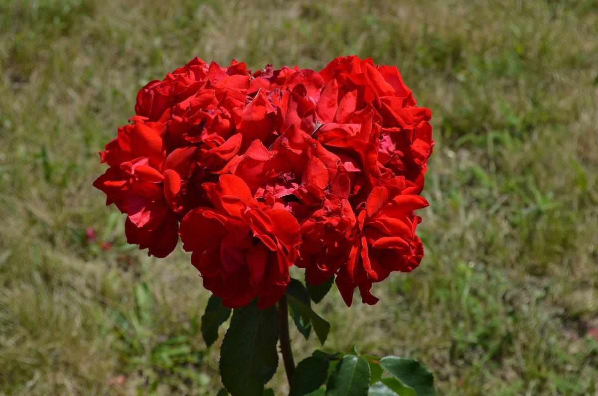 Розы - Татьяна Кретова