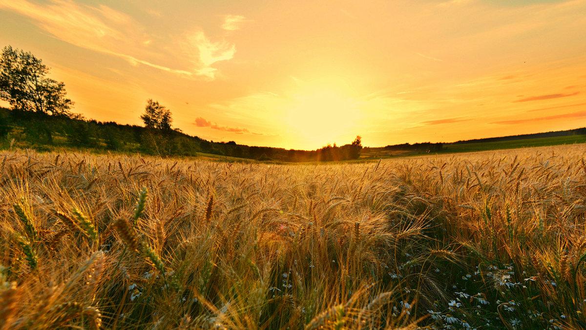 Пшеничное поле... - Ирина Жеребятьева