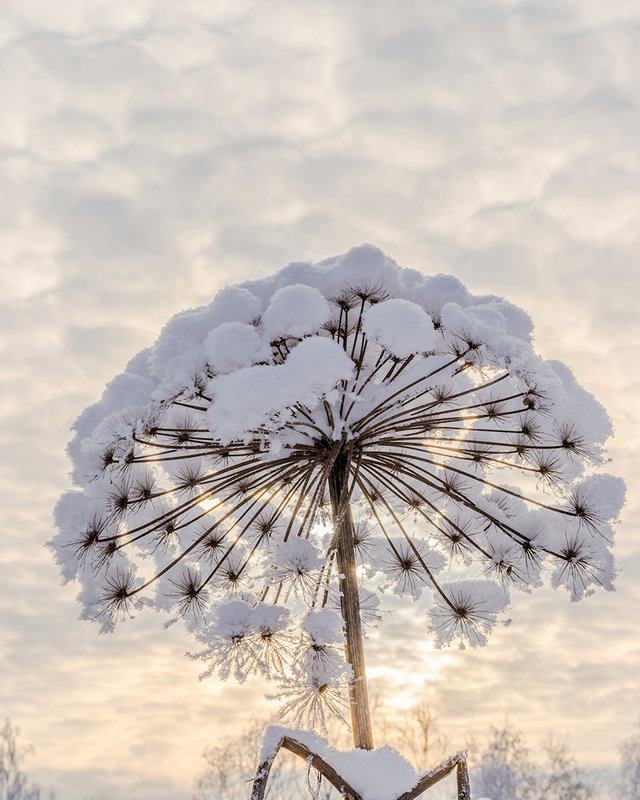 Борщевик зимой прекрасен - юрий
