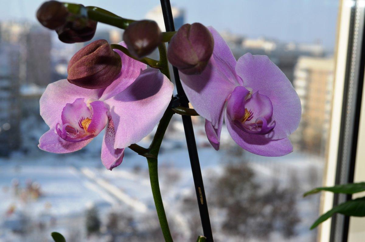 Орхидея - Serg