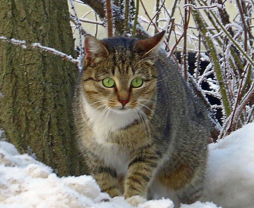 снежный кот - валя