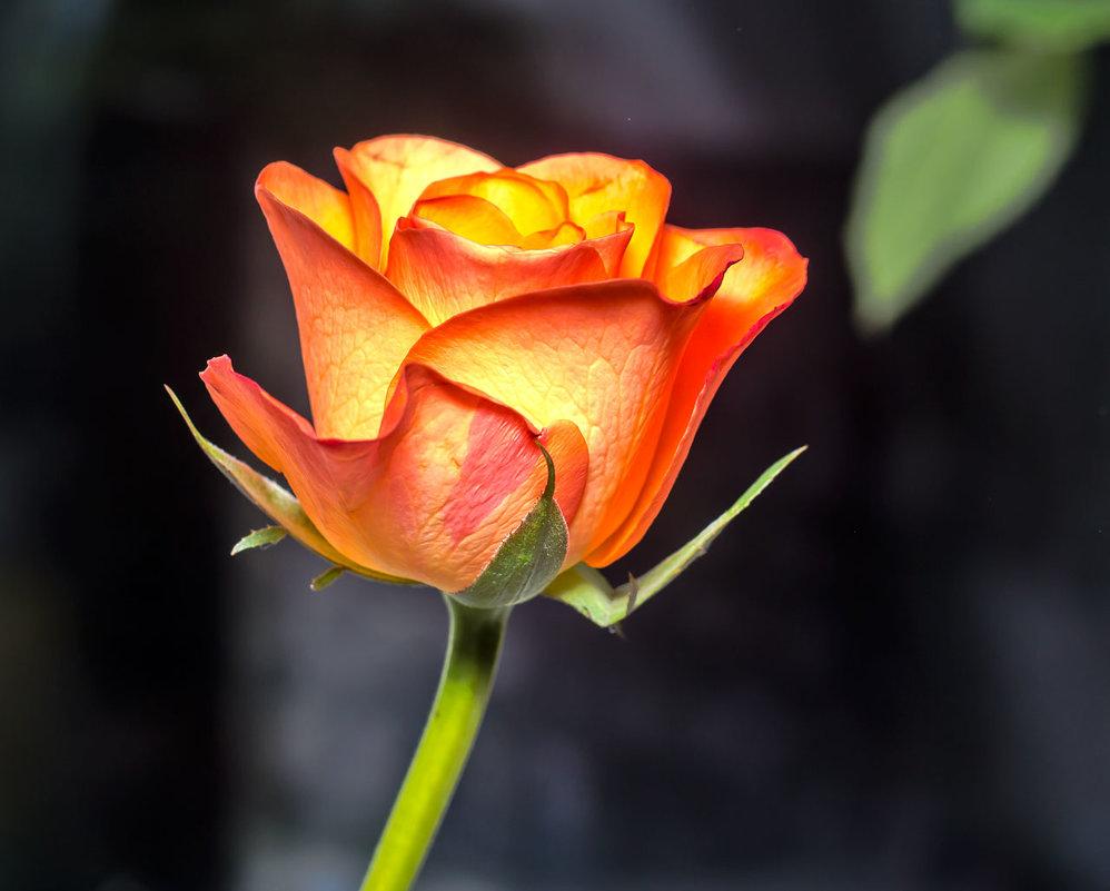 roze - Peteris Kalmuks