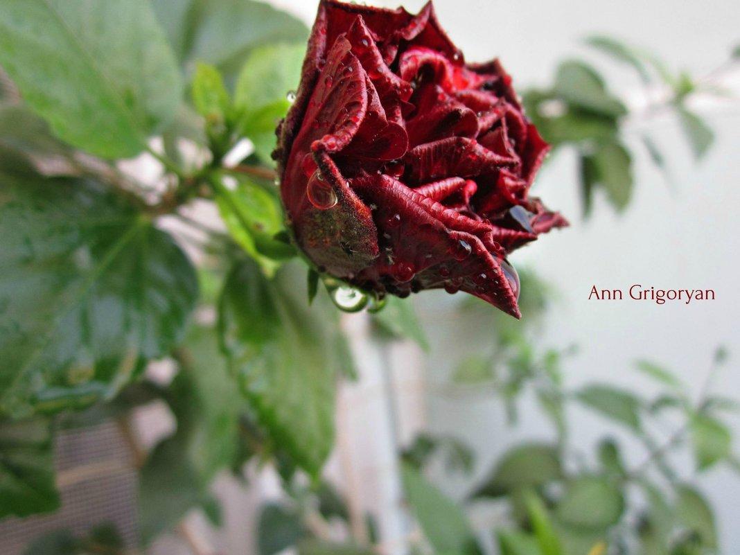 Китайская Роза - Анна