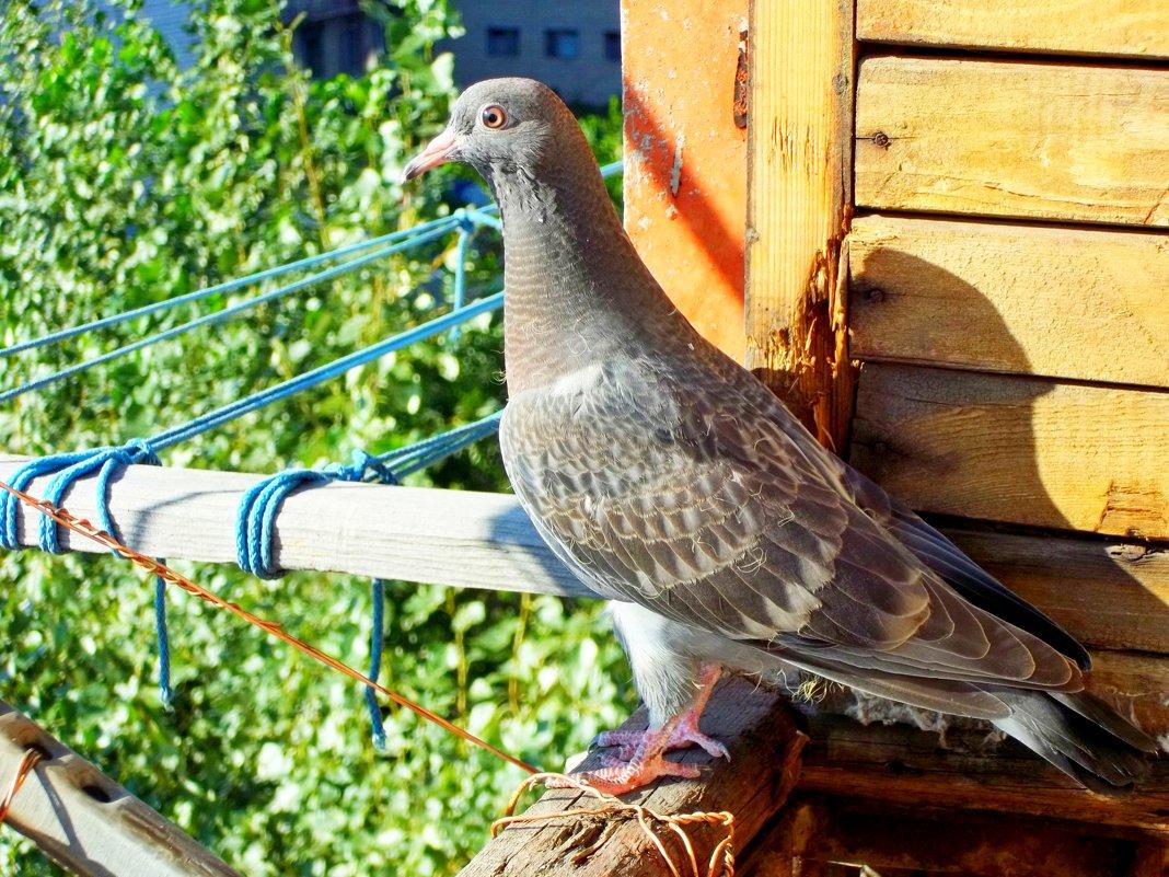 молоденький голубь - Алла Лямкина