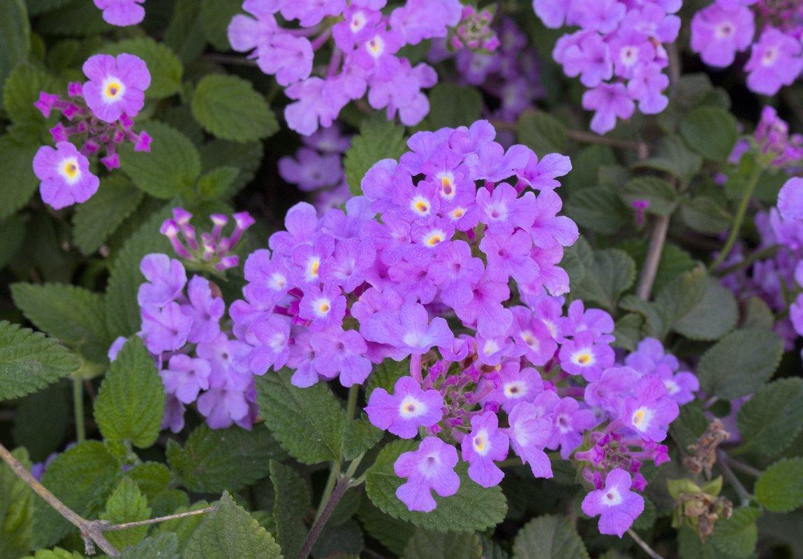 Лантана фиолетовая в в марте - Александр Деревяшкин