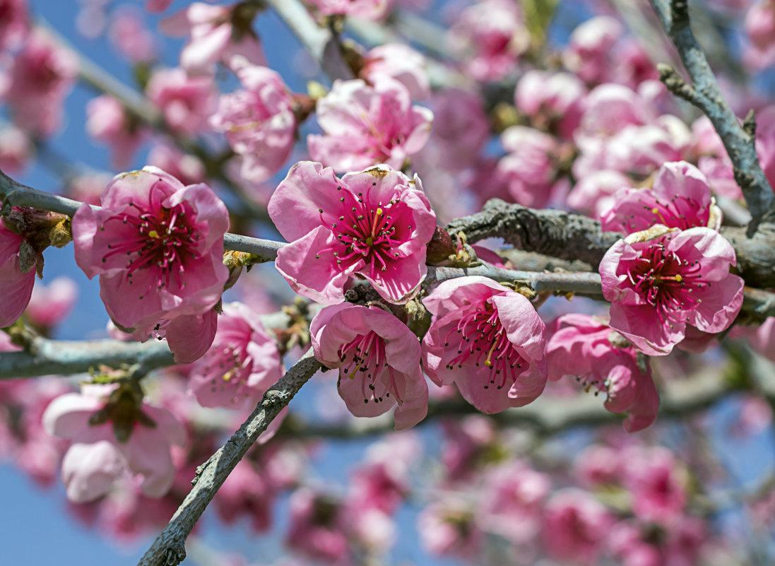 персик в картинках цветущий