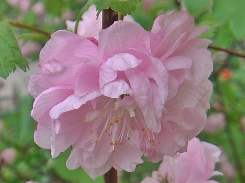 Майская роза раскрылась в апреле - Нина Корешкова