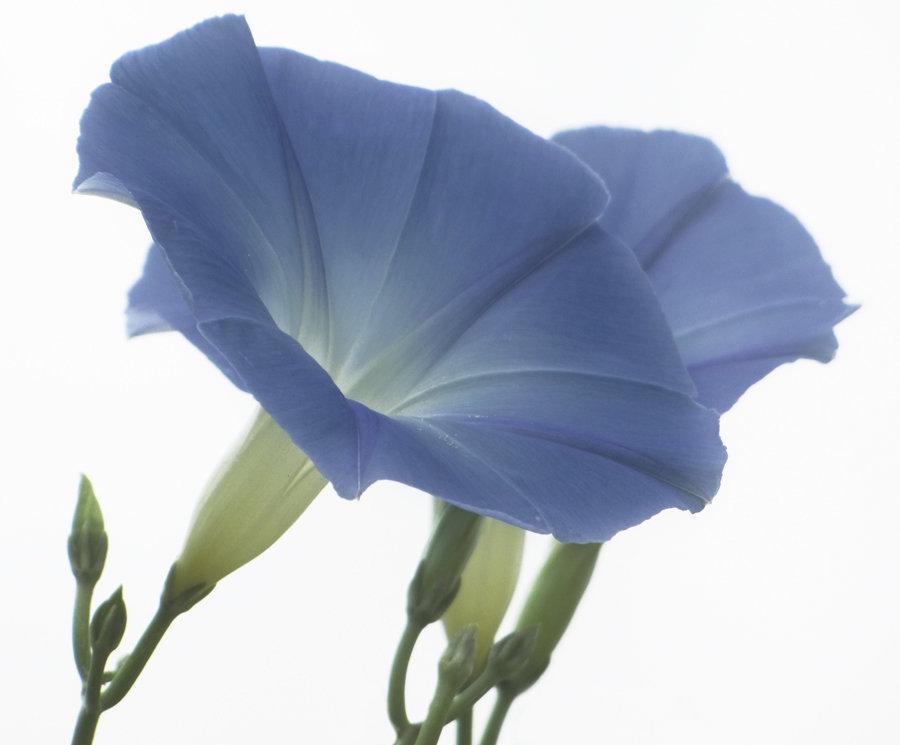 Голубая ипомея - Ольга