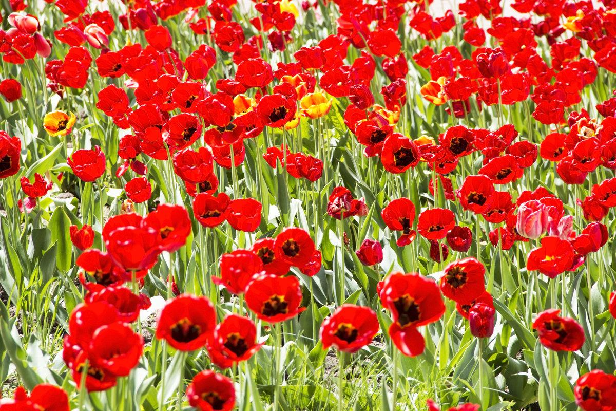 Тюльпаны 3 - Олег
