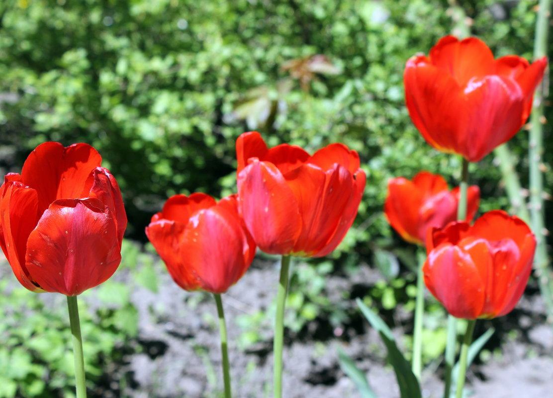 Красные тюльпаны - шёлковые чаши,по весне лазурной нет нежней и краше . (Александр Винокуров) . - Валентина ツ ღ✿ღ