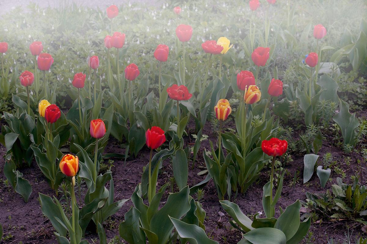 Тюльпаны в тумане - Владимир Кроливец