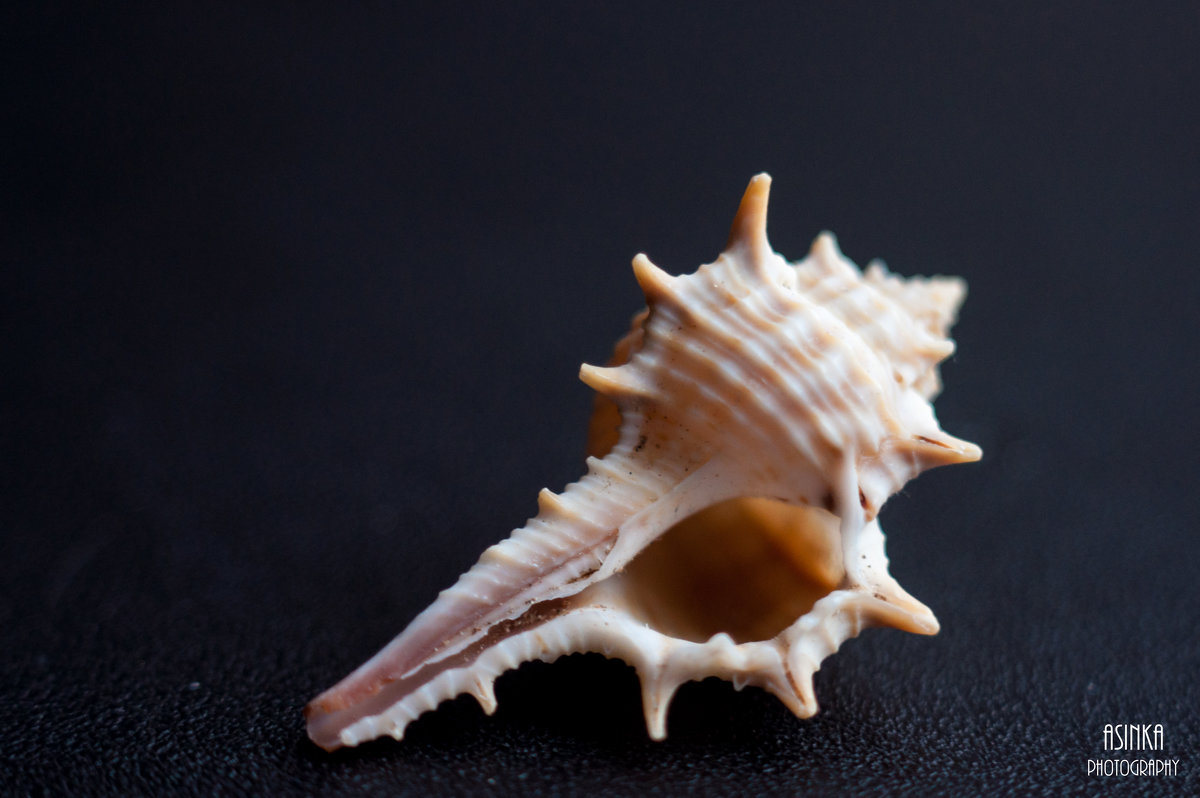 Колючая ракушка - Asinka Photography