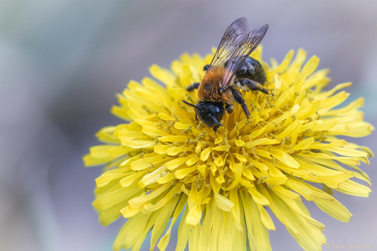Пчела и одуванчик - Игорь Сарапулов