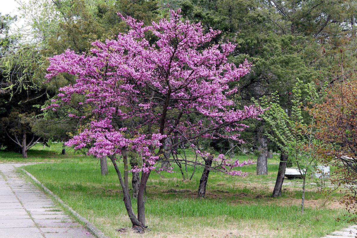 Иудино дерево - elena manas