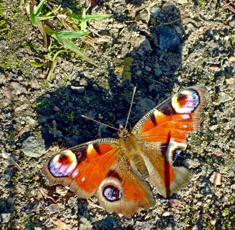 Бабочка и её тень - Вера Щукина