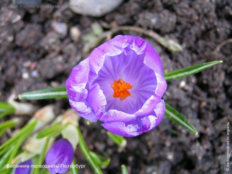 Весенние первоцветы крокус - Тамара Буйлова