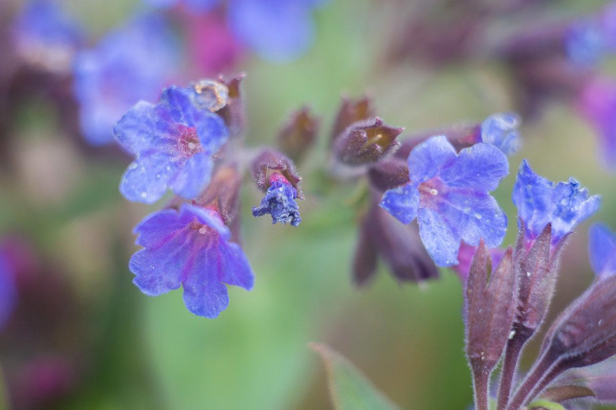 Цветы весны.... - игорь козельцев