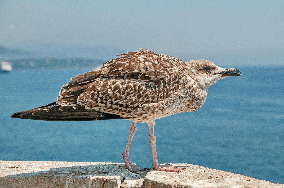 чайка - Игорь Голубев
