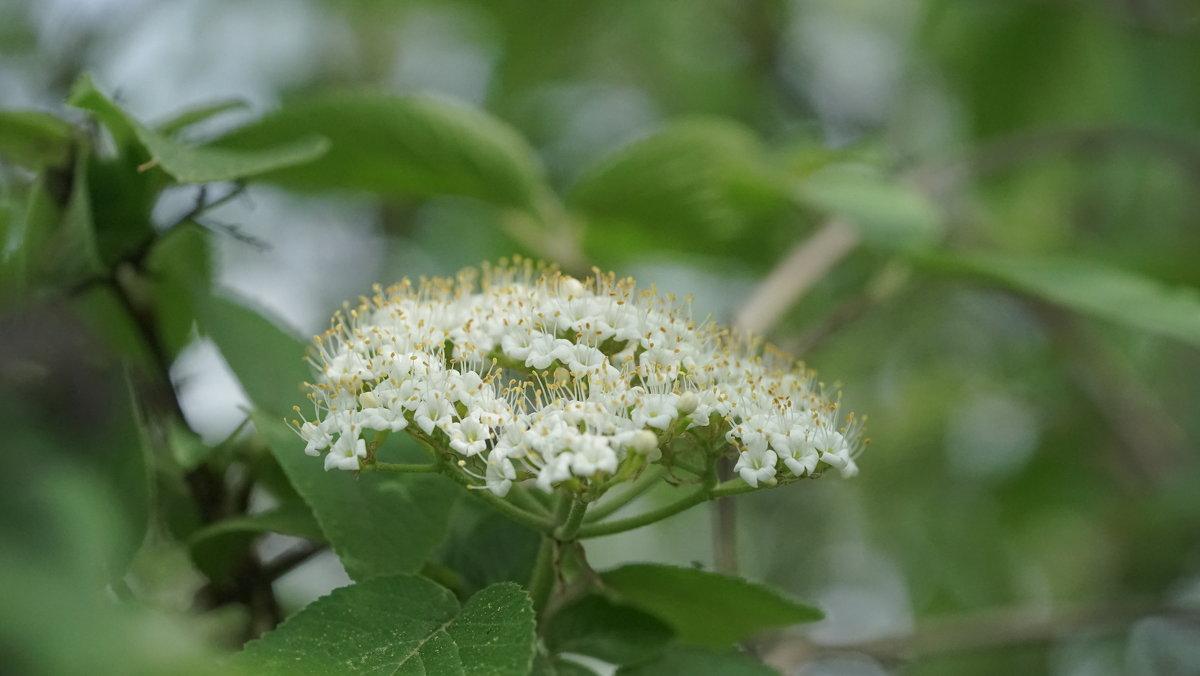 Соцветие калины гордовины - Balakhnina Irina