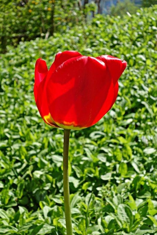 """""""Красные тюльпаны - шёлковые чаши, По весне лазурной нет нежней и краше..."""" - Galina Dzubina"""
