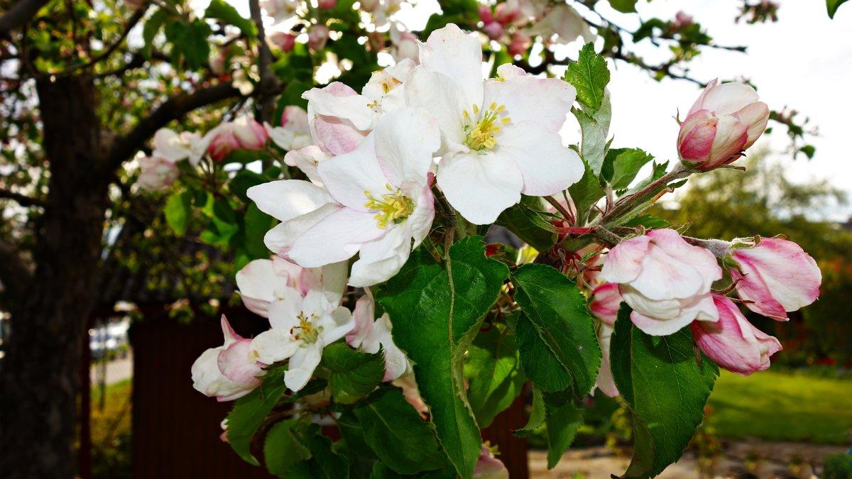 Дивный яблоневый цвет! - Galina Dzubina