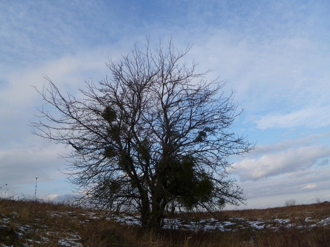 Яблоня, заселённая омелой - Balakhnina Irina