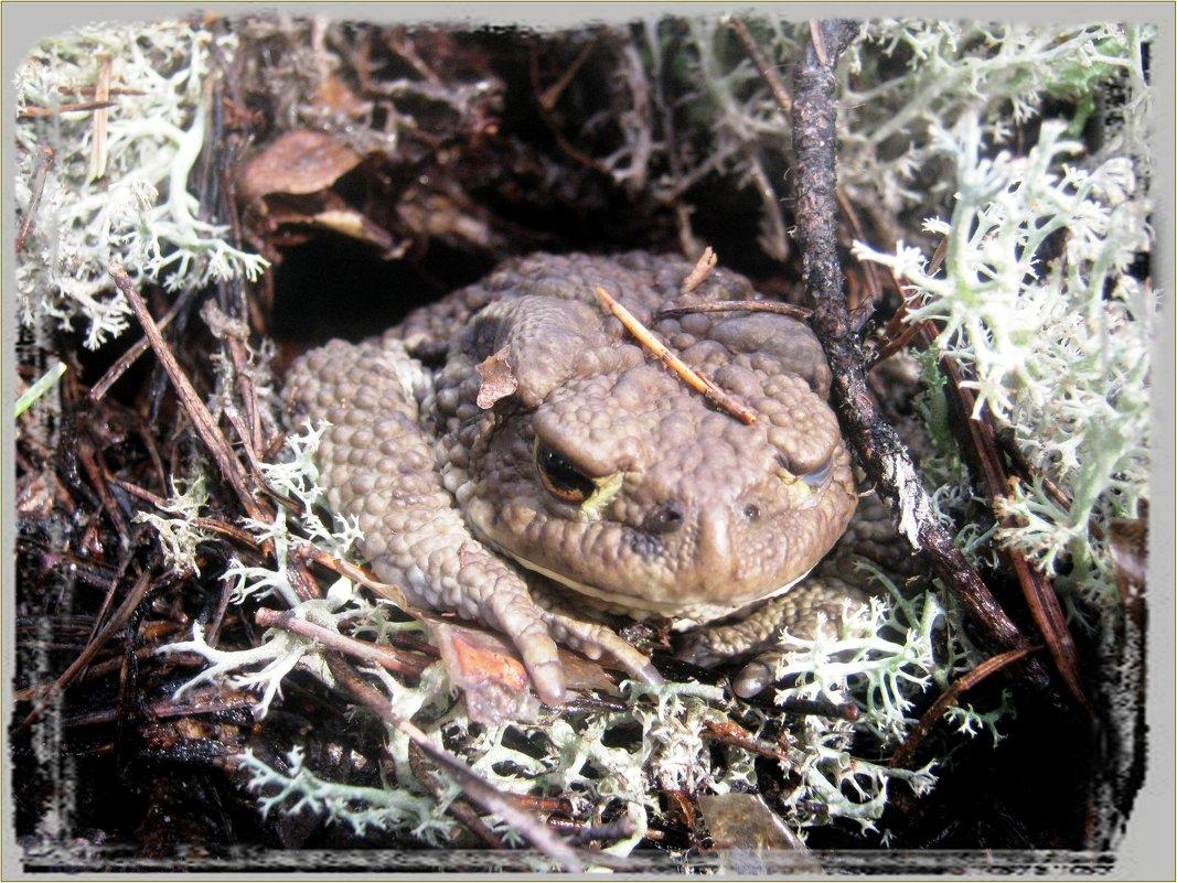 жаба лесная - Наталья Зимирева