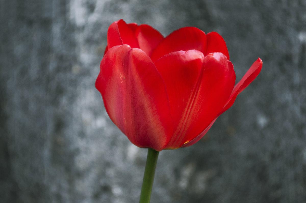 тюльпан - Марина