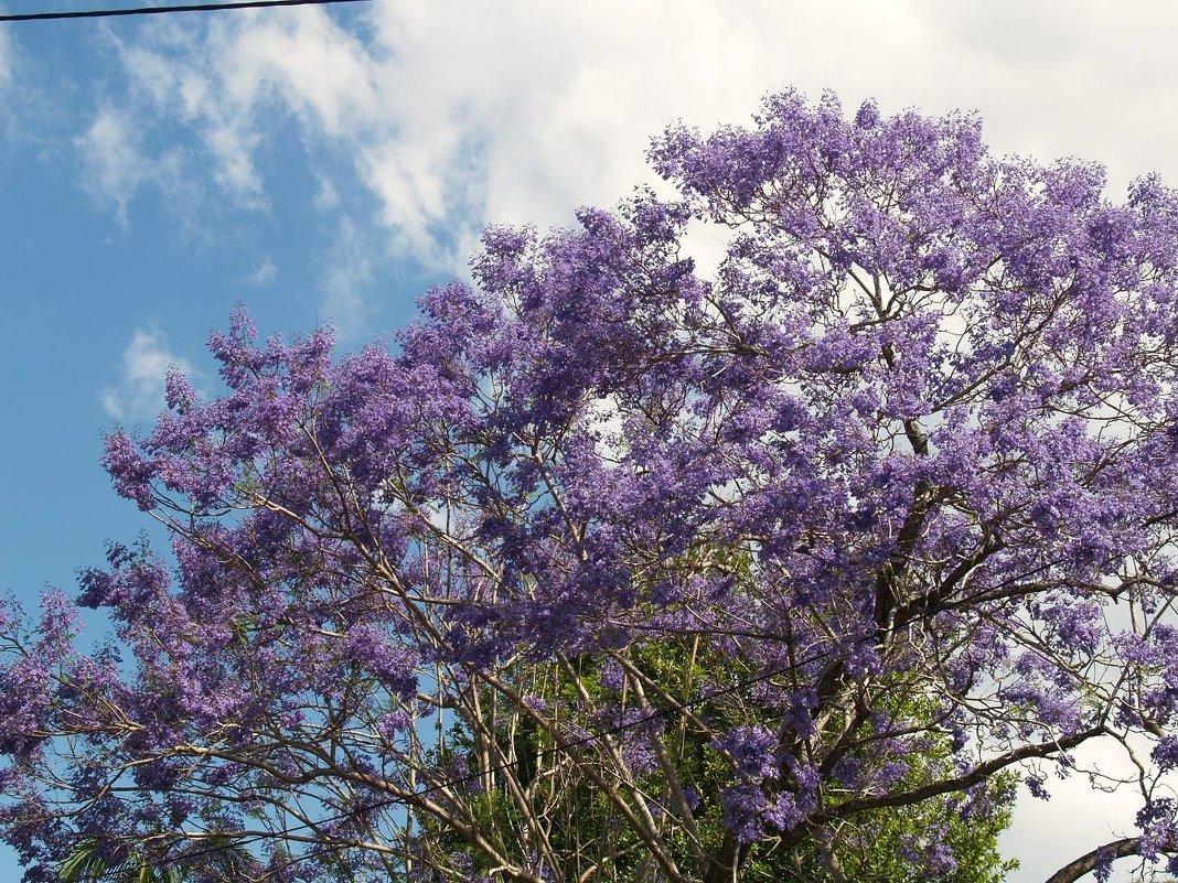Жакаранда.Австралия - Антонина