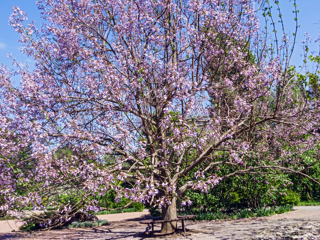 Павлония дерево выращивание