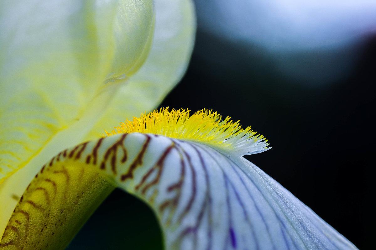 Цветок ириса - Сергей Тагиров