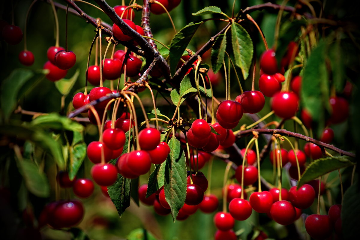 vit5  вишневый рай - Vitaly Faiv