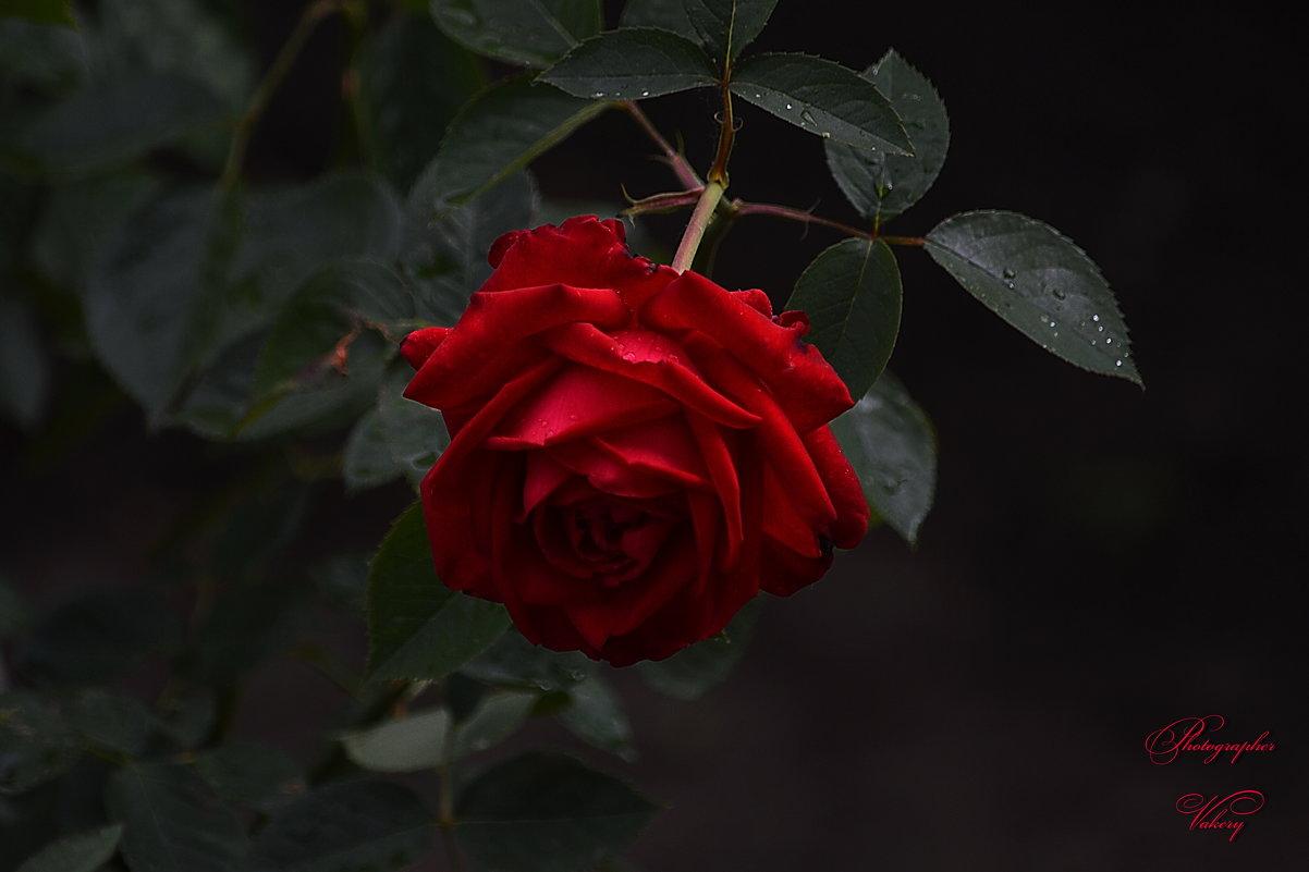 Роза - Валерий Лазарев