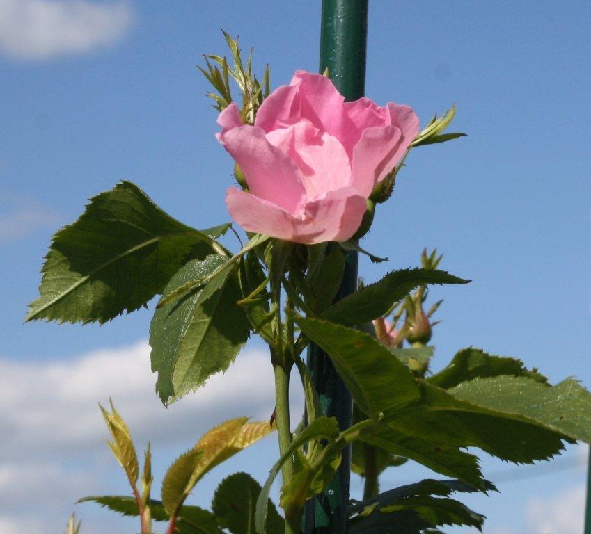 Первая роза - Наталия Зыбайло