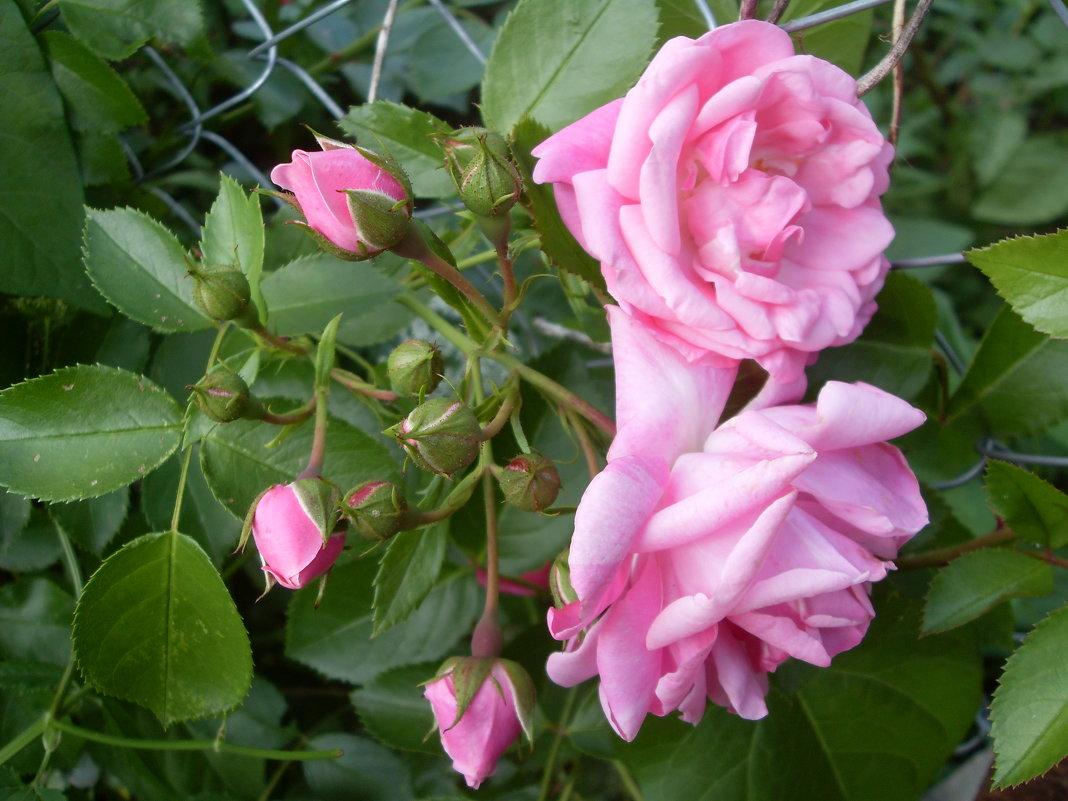 Розовая семейка - lara461