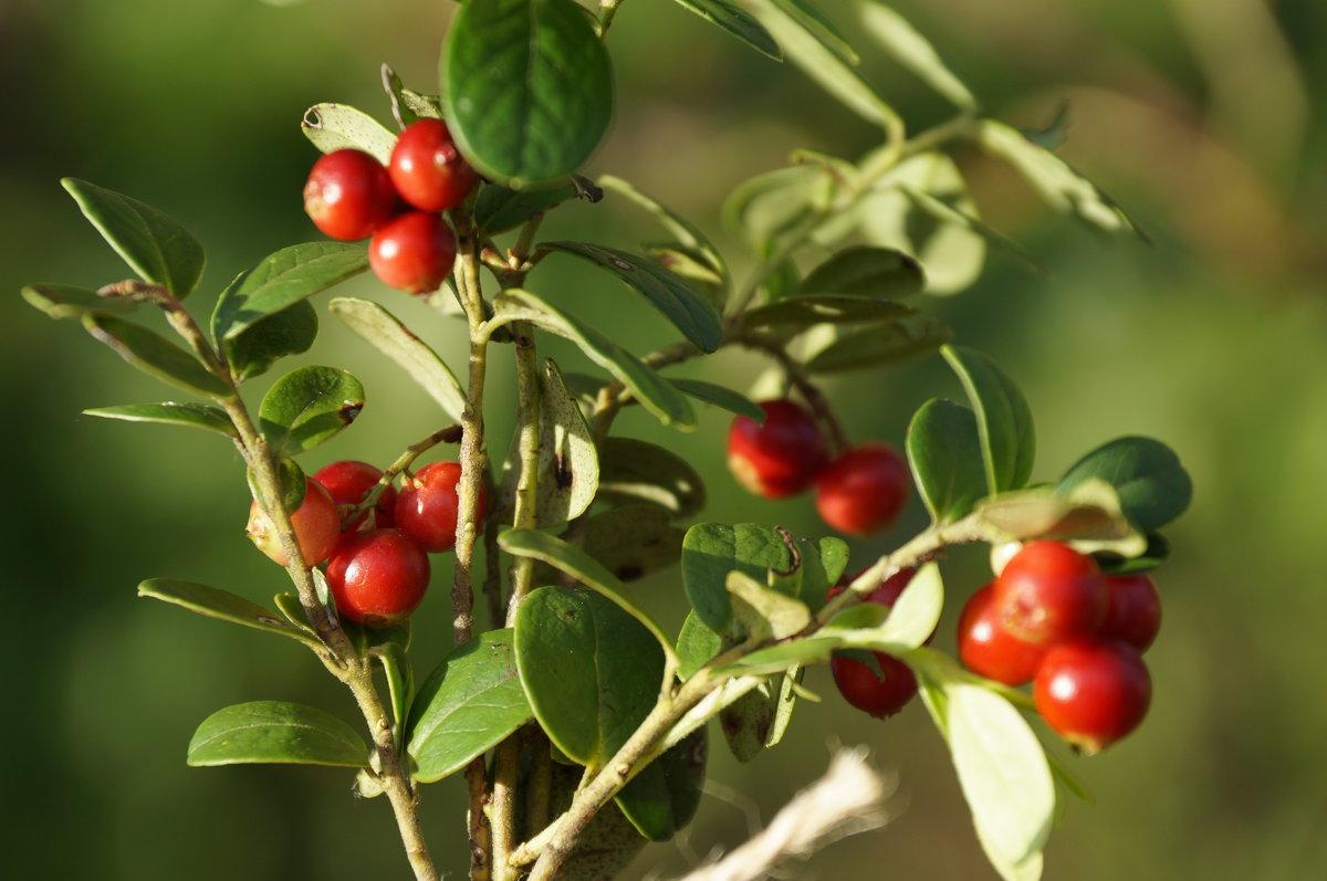 красна ягодка - Софья Лейкина