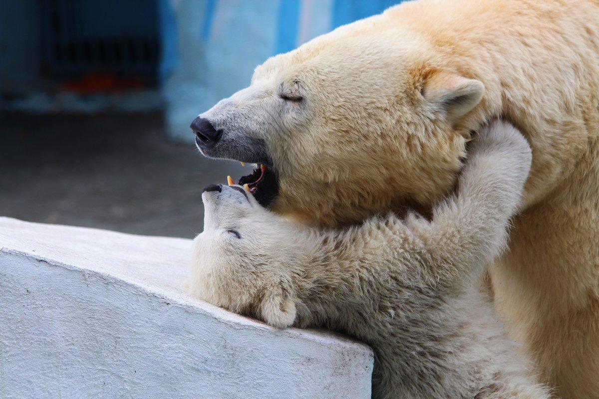 Обьятия белых медведей - Владимир Шадрин