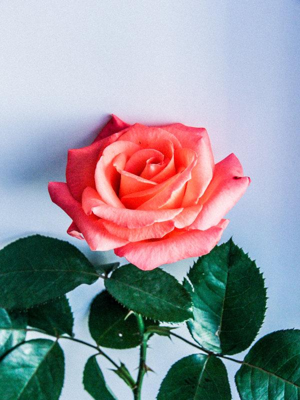 Роза 1. - Alexandra G.