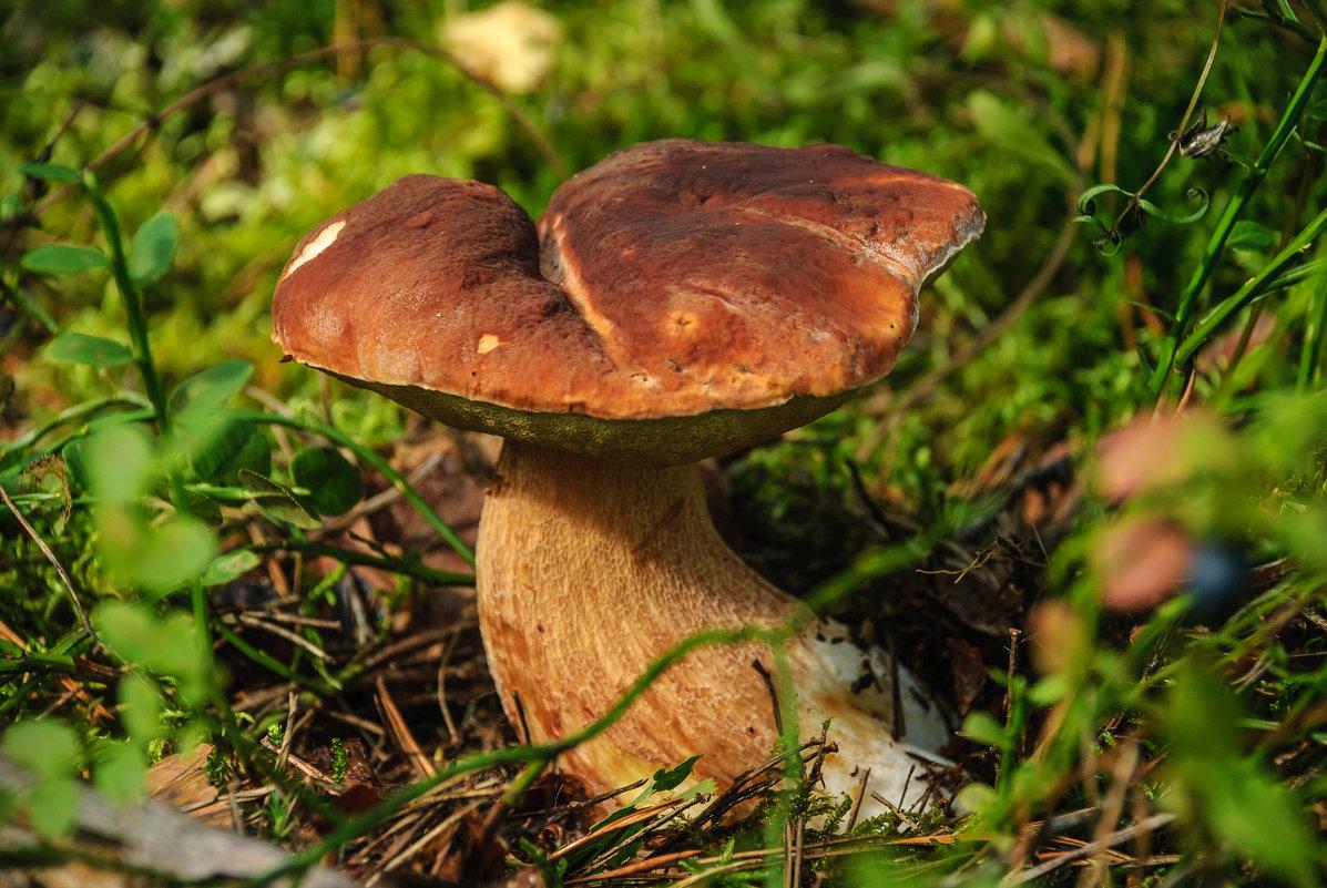 Белый гриб - Михаил Вандич