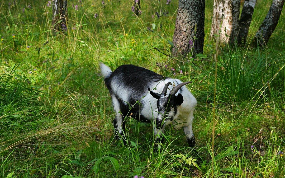 Коза, которая гуляет сама по себе - Милешкин Владимир Алексеевич