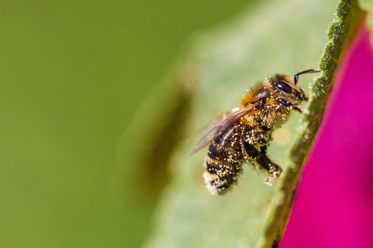 Пчела в пыльце - Максим Никитенков