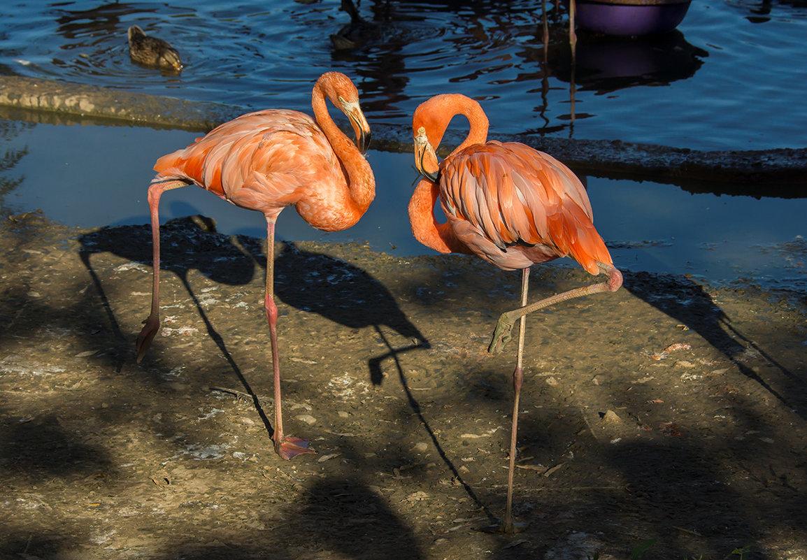 Танец фламинго - Игорь Герман